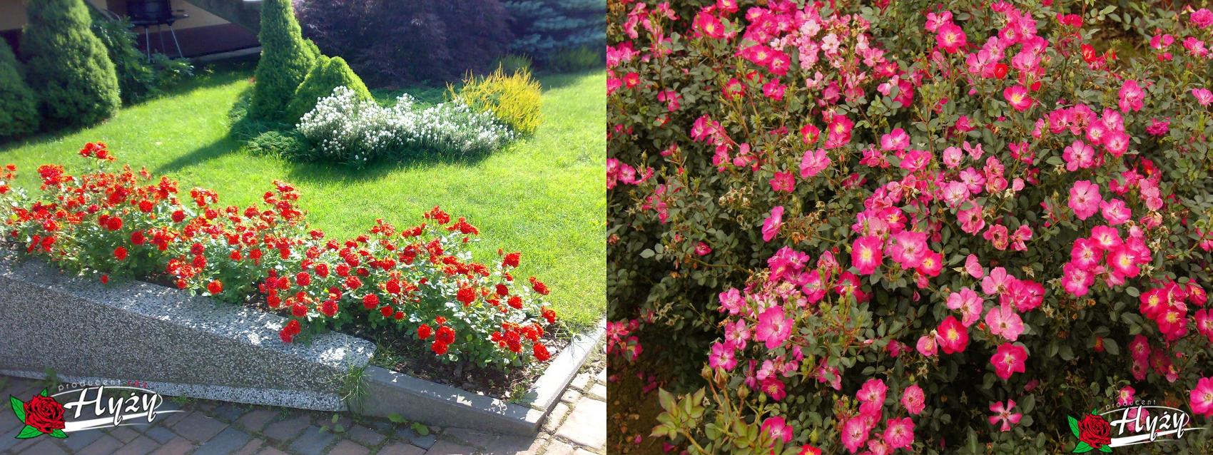 Róże miniaturowe - Róże ogrodowe