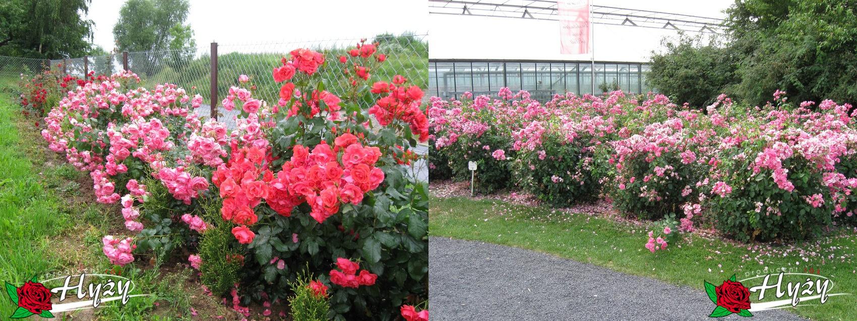Róże parkowe - Róże ogrodowe