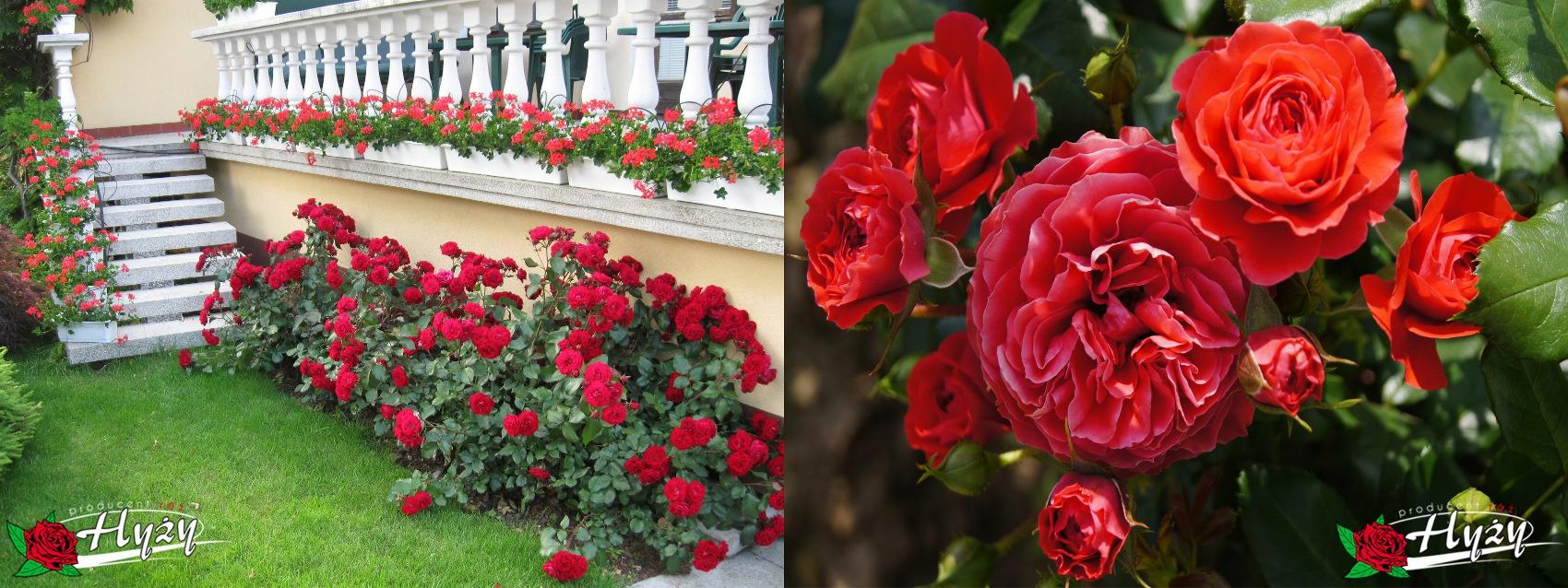 Róże rabatowe - Róże ogrodowe