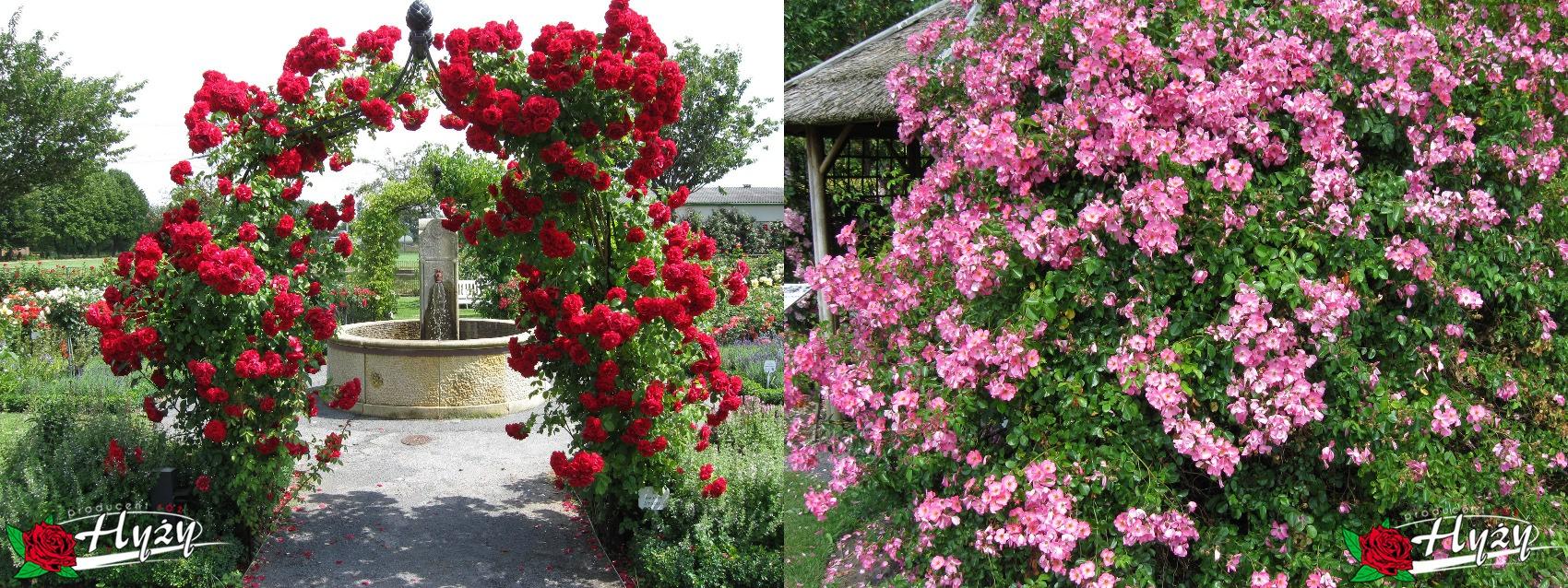 Róże pnące - Róże ogrodowe
