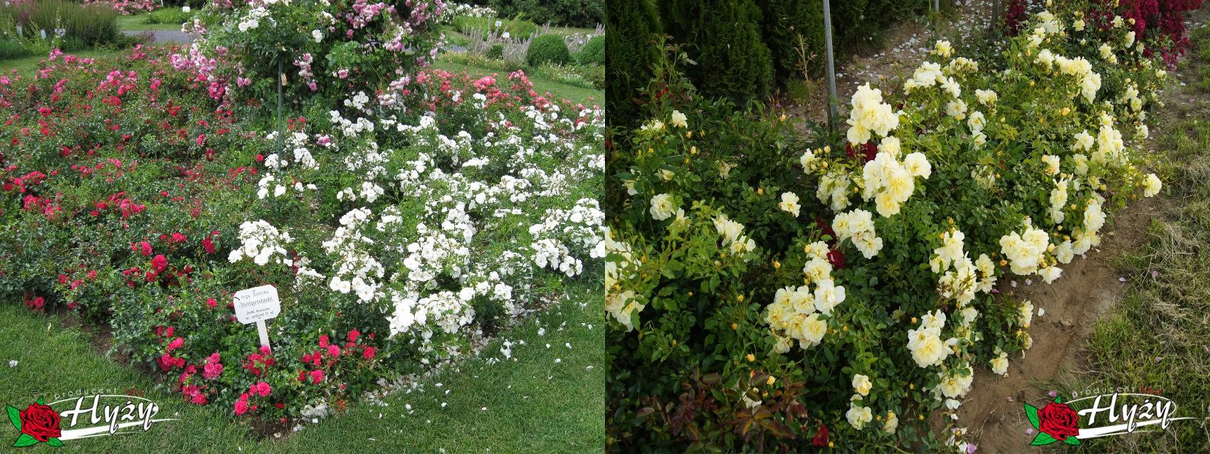 Róże okrywowe - Róże ogrodowe