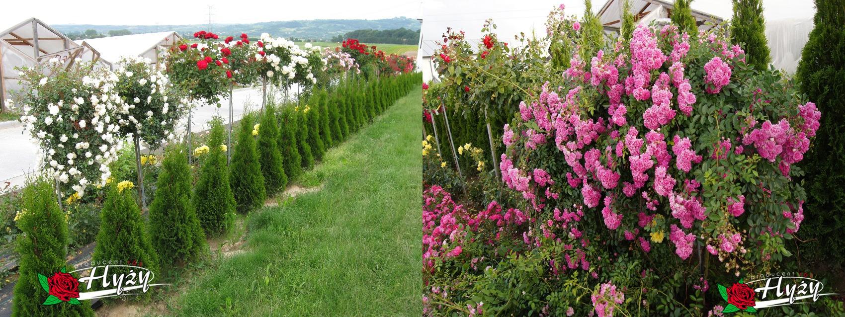 Róże pienne - Róże ogrodowe