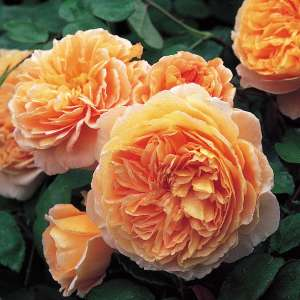 Róża angielska CROWN PRINCESS MARGARETA®