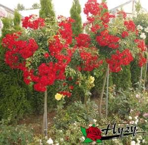 Róże Pienne 140 Cm Sadzonki Rozeogrodowe Pl