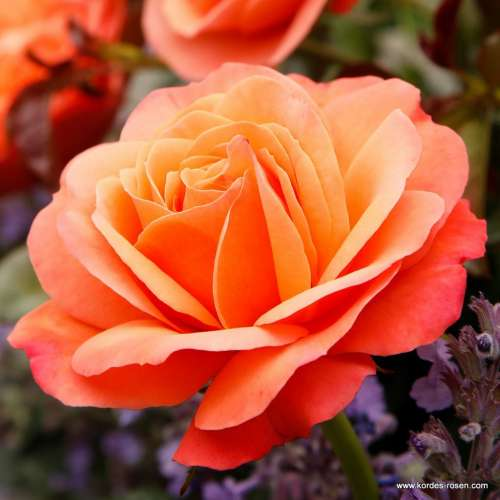 Coral-Lions-Rose_00.jpg