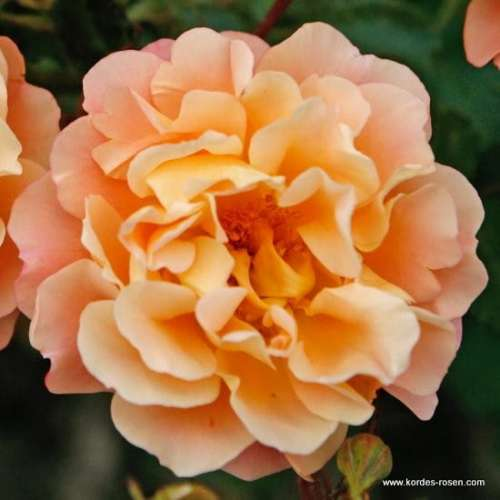 rose_orange_bodendecker_cubana_kordes_3_1.jpg