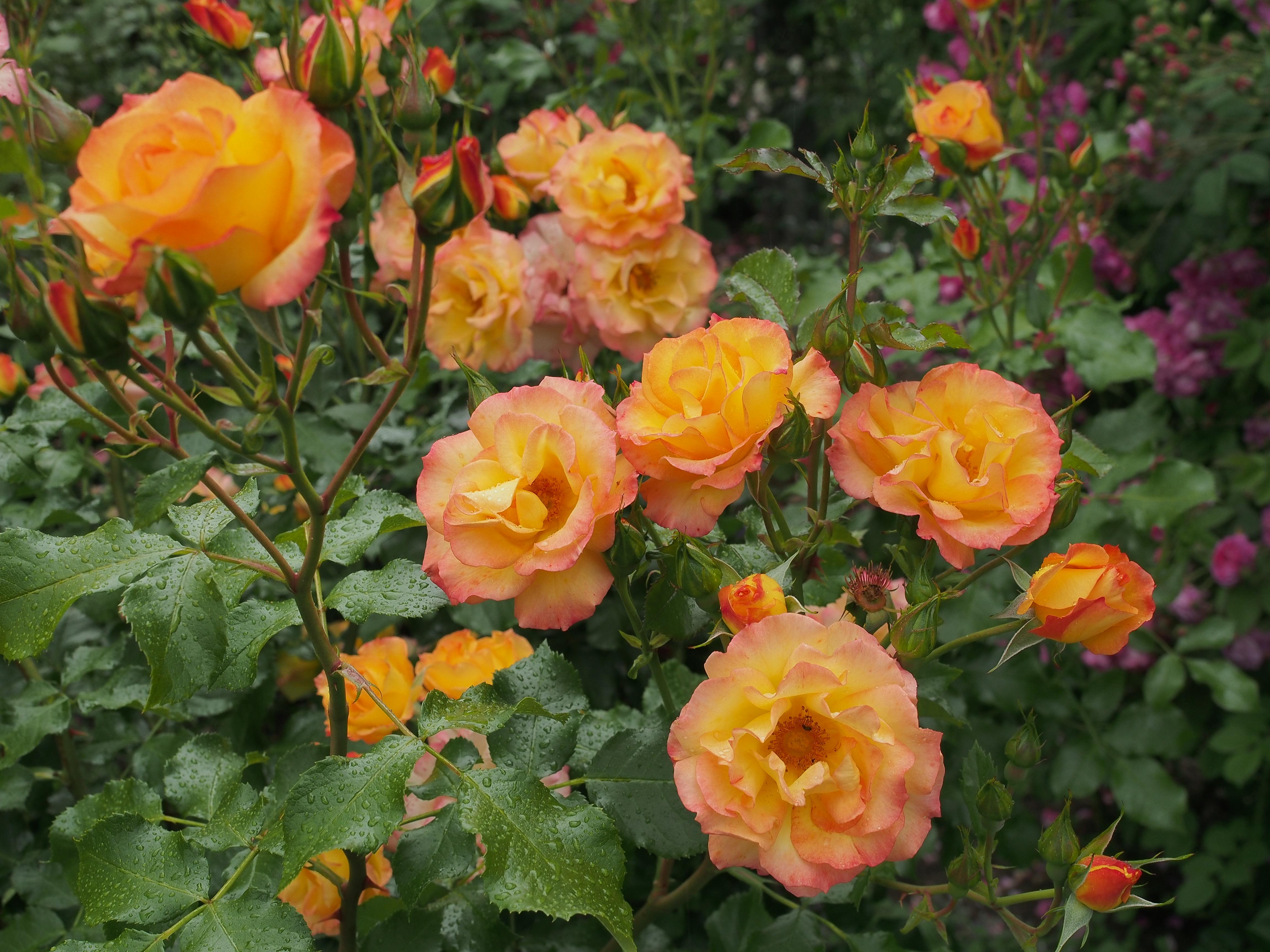róża parkowa BONANZA