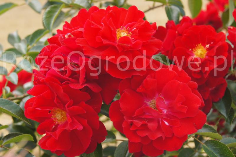 Róża okrywowa MAINAUFEUER