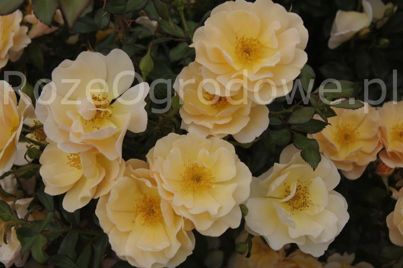 Róża okrywowa Amber Sun