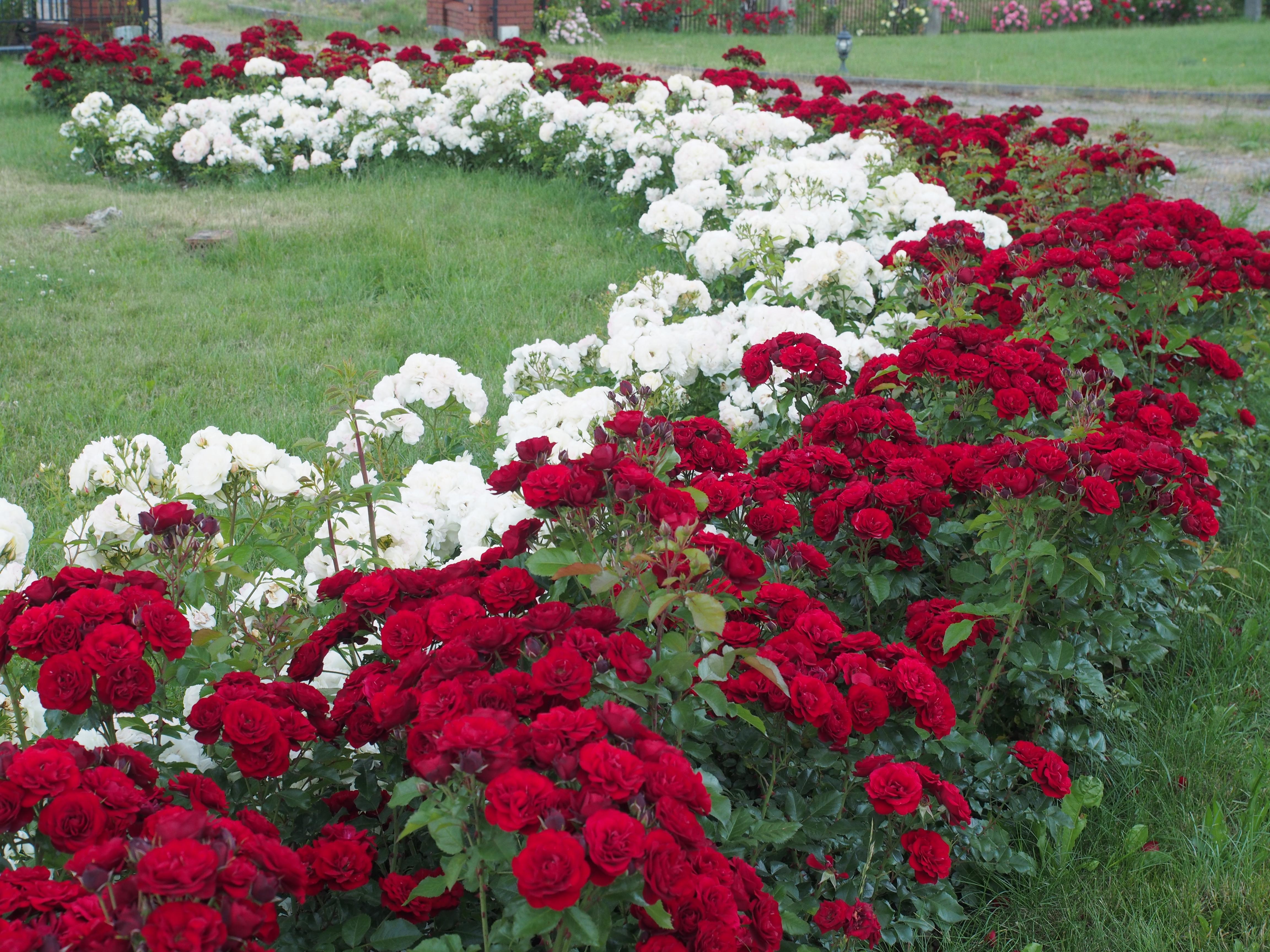rabata bordowych i białych róż LAVAGLUT