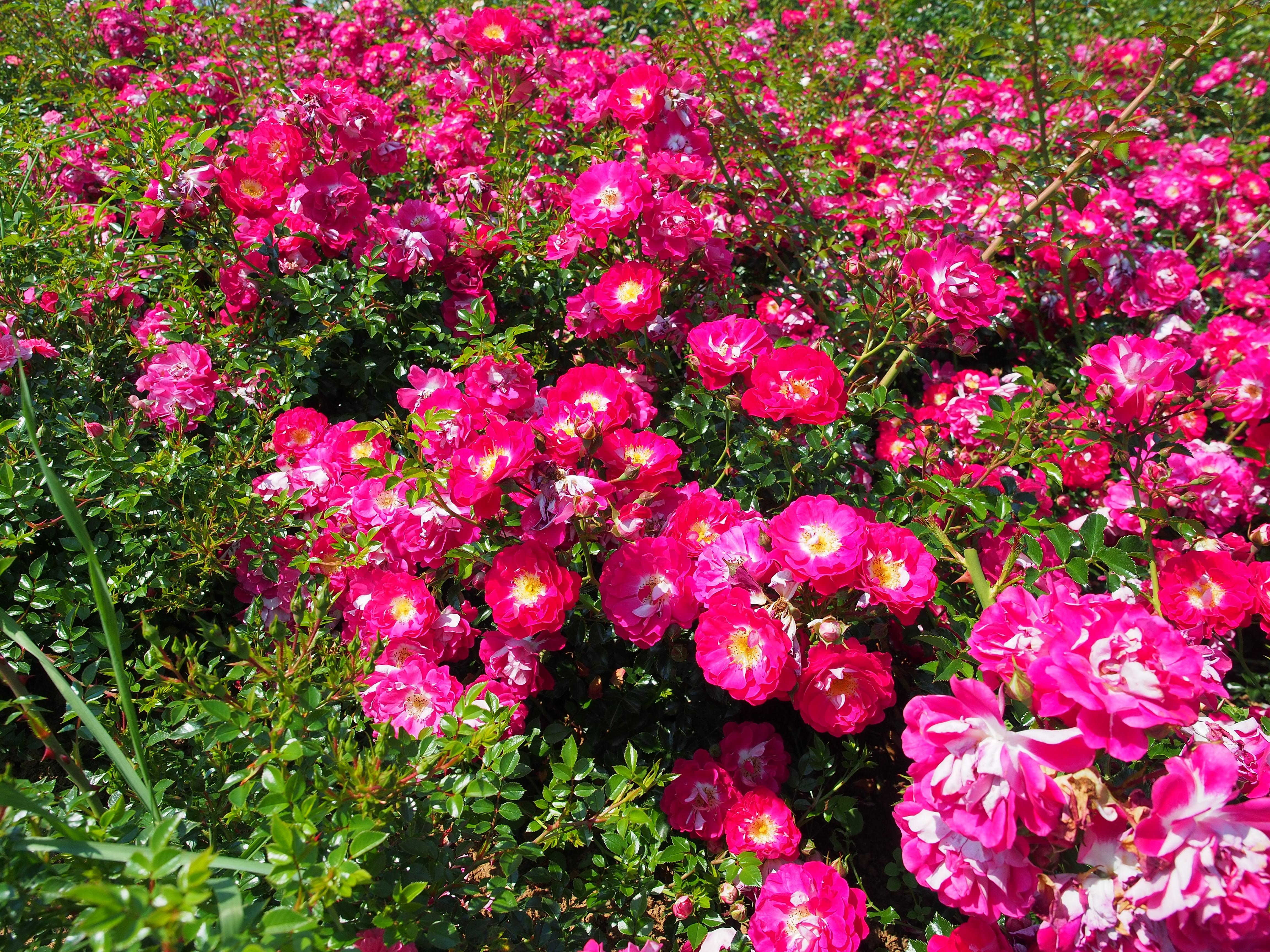 Фотографии красивых цветовых розы