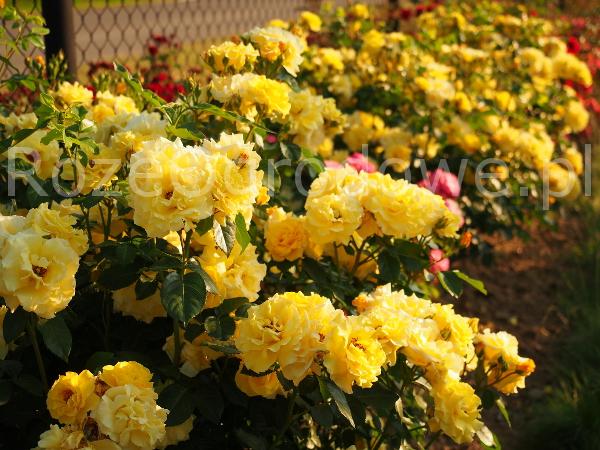 Róża LICHTKONIGIN LUCIA