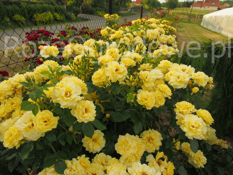 Róża parkowa LICHTKONIGIN LUCIA