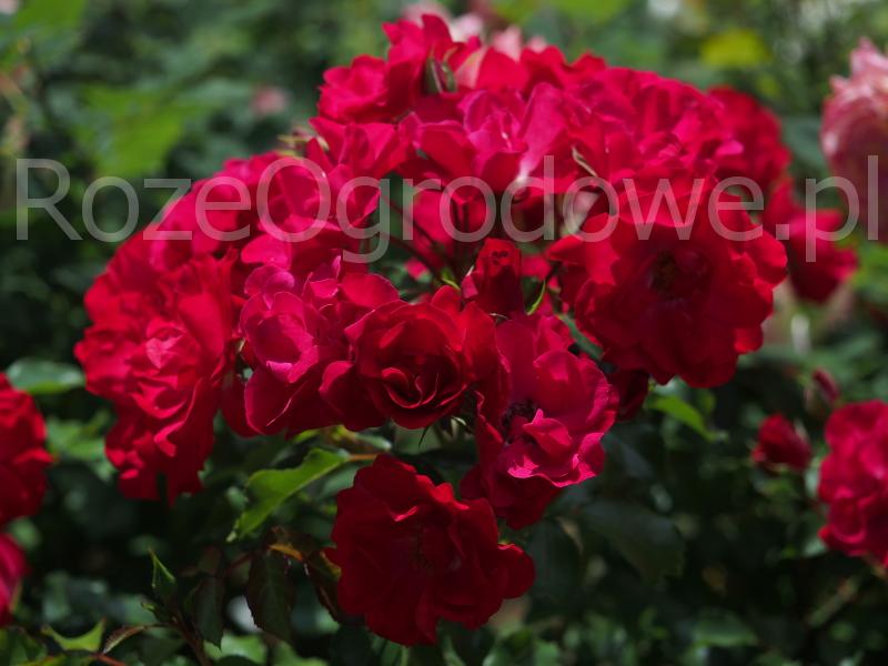 Róża rabatowa ROTILIA