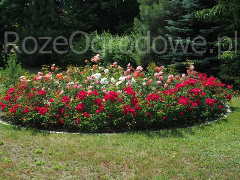 Róża ROTILIA