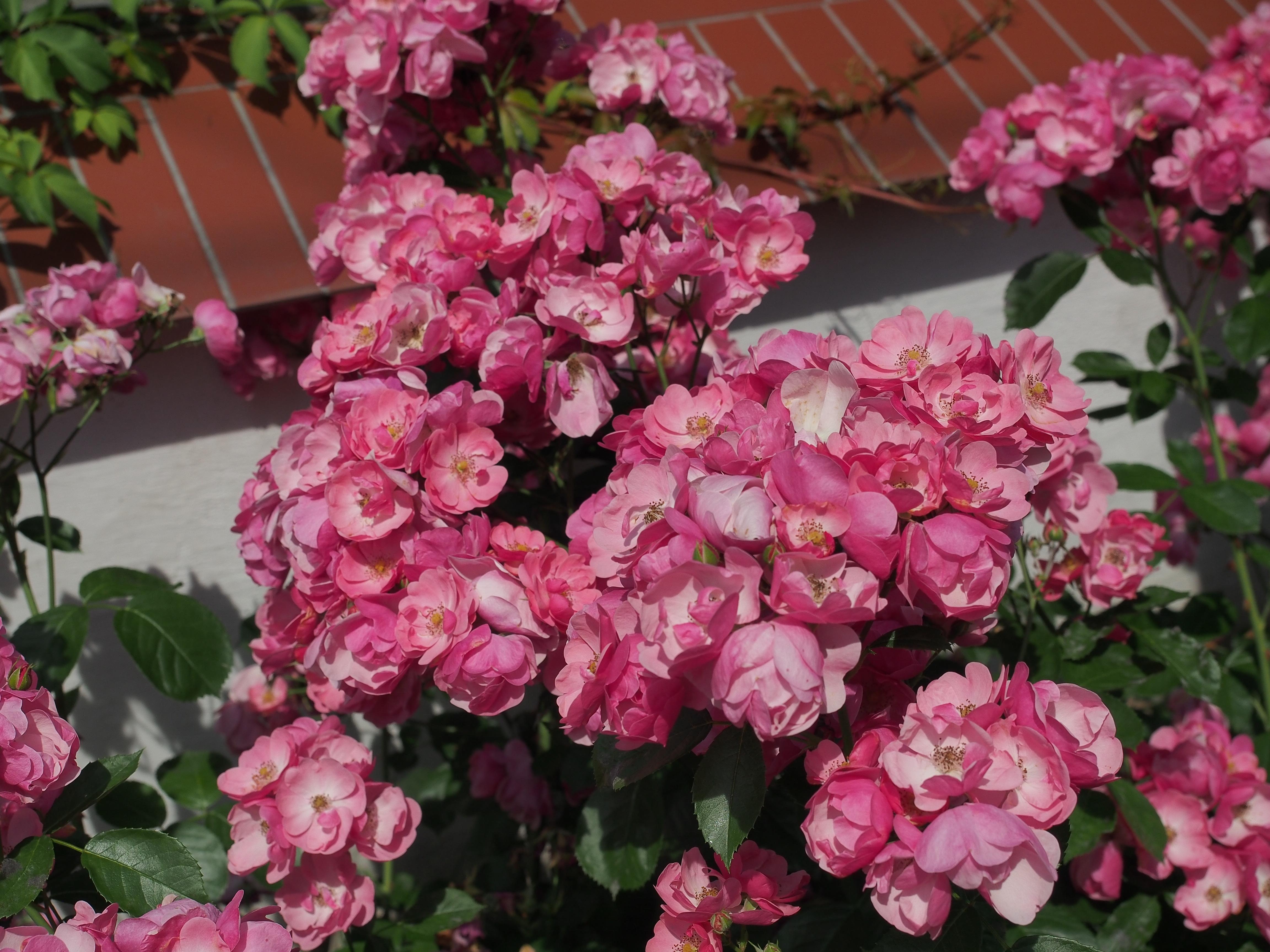 duże kwiatostany róży parkowej  Angela