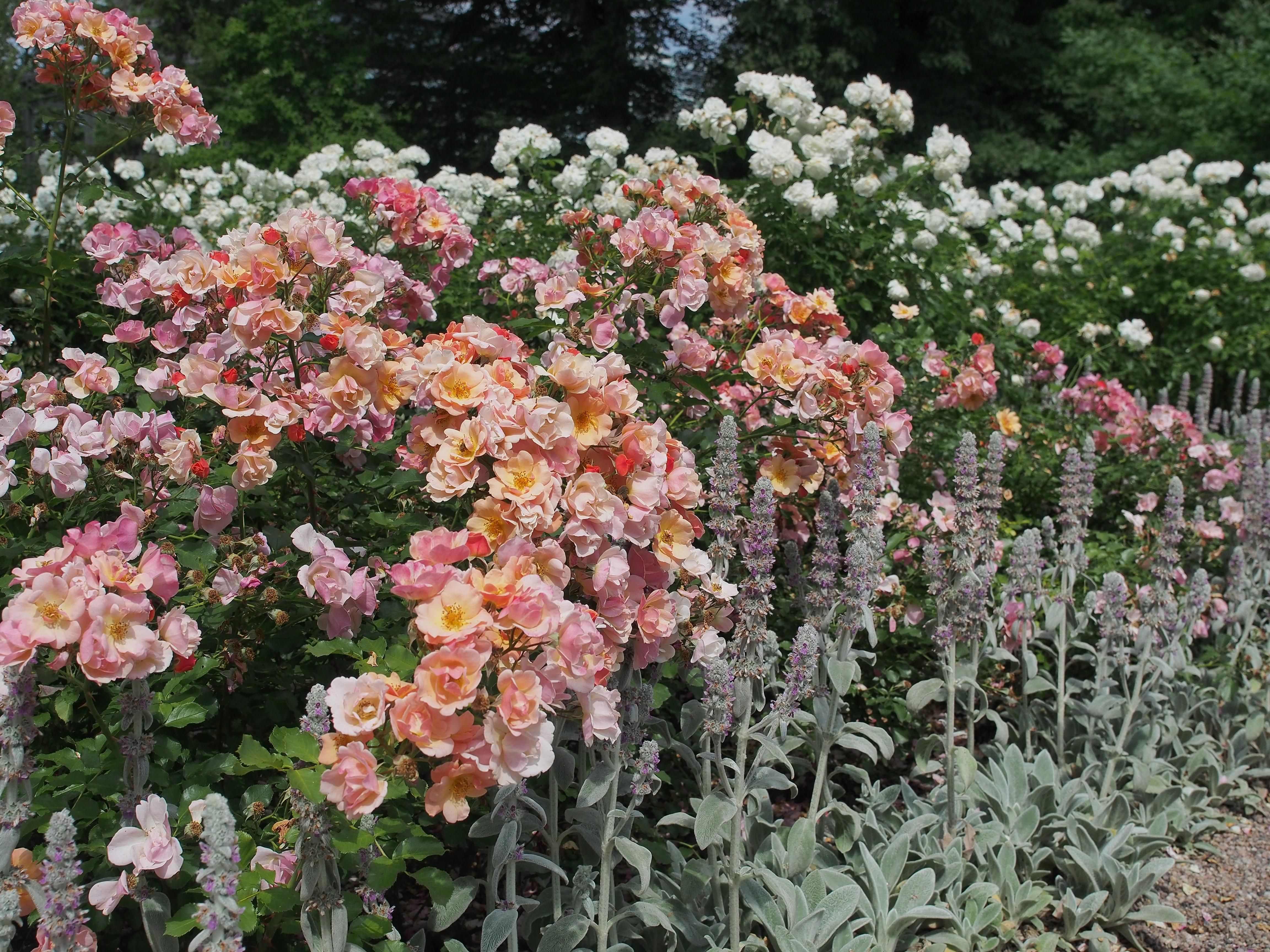 kwiaty róży Jazz