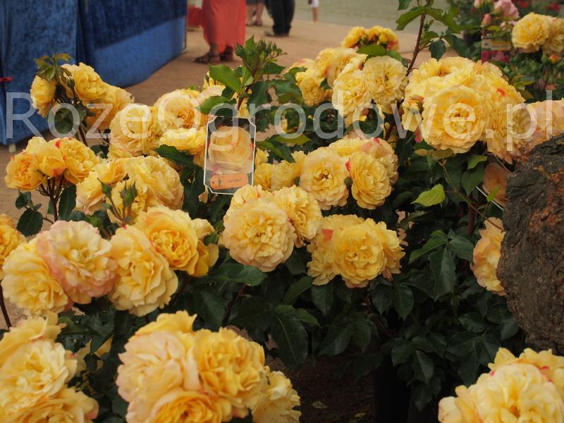 Róża rabatowa LAMPION