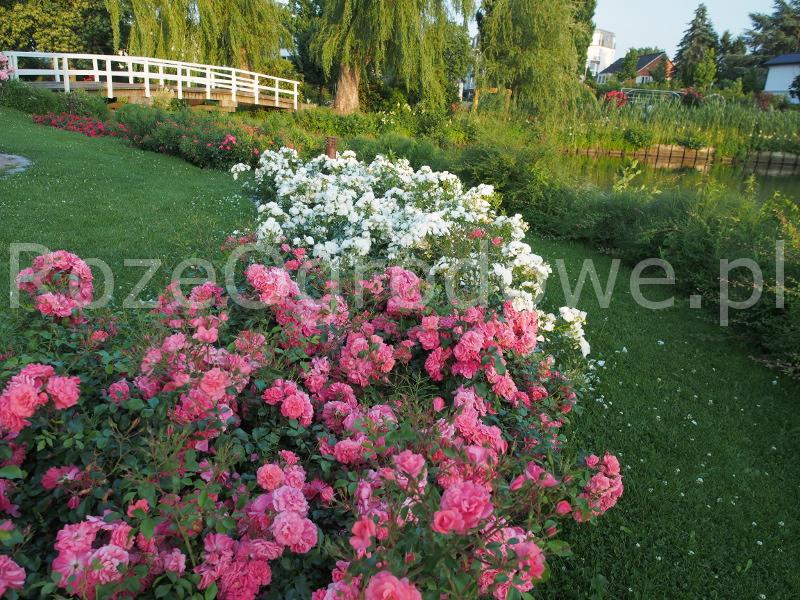 Róża rigo rosen Bad Birnbach