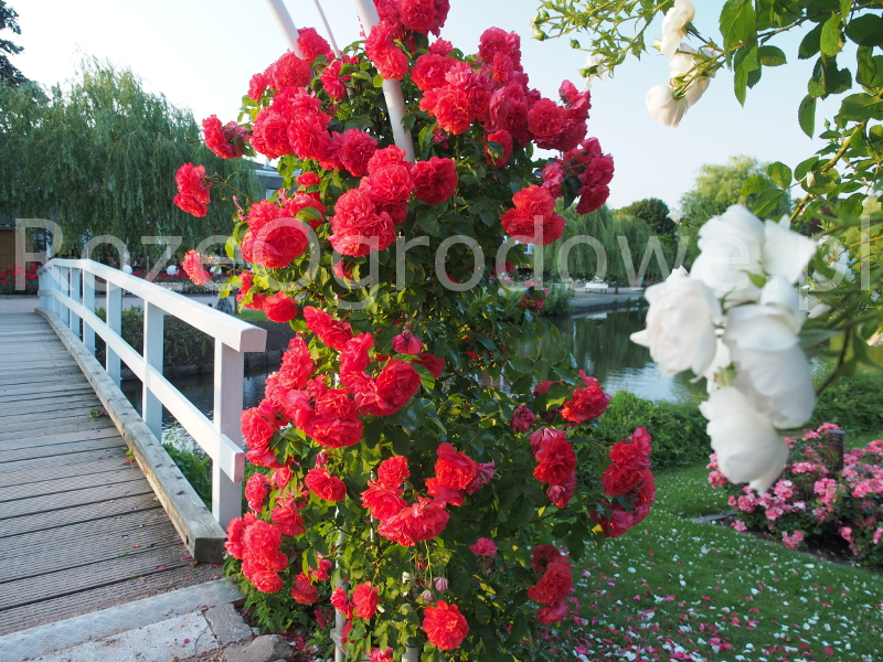 Róża UETERSENS ROSENKÖNIGIN