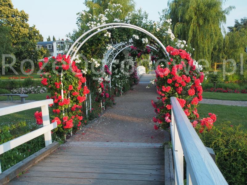 Róża parkowa UETERSENS ROSENKÖNIGIN