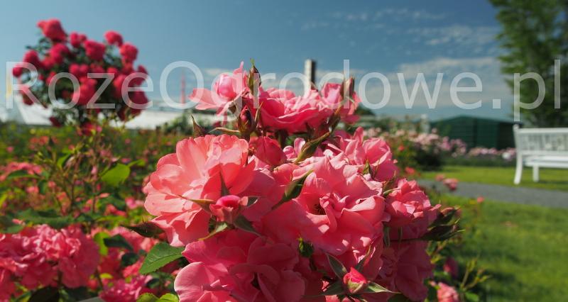 Bad Birnbach róża rabatowa