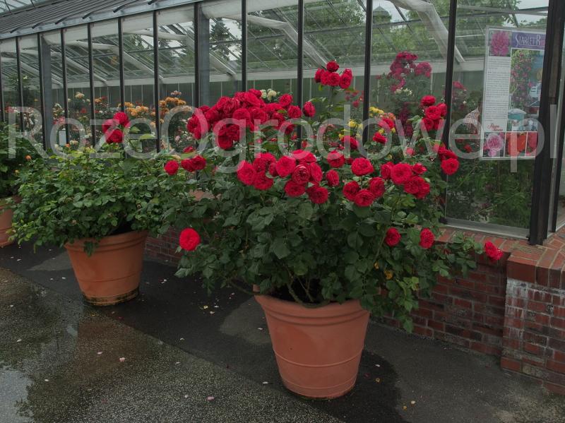 Róża wielkokwiatowa PIANO