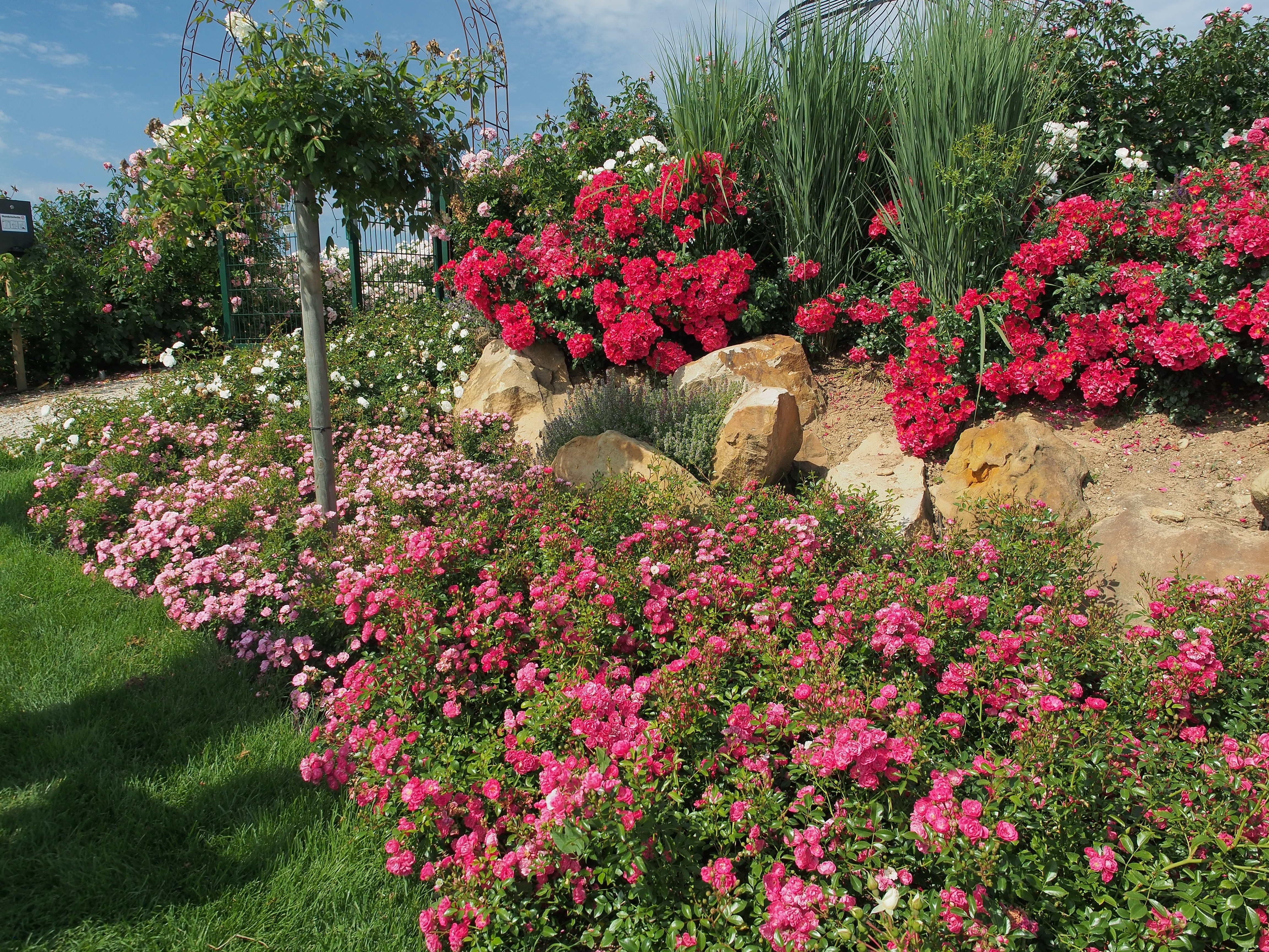 róże MATADOR na skalniaku
