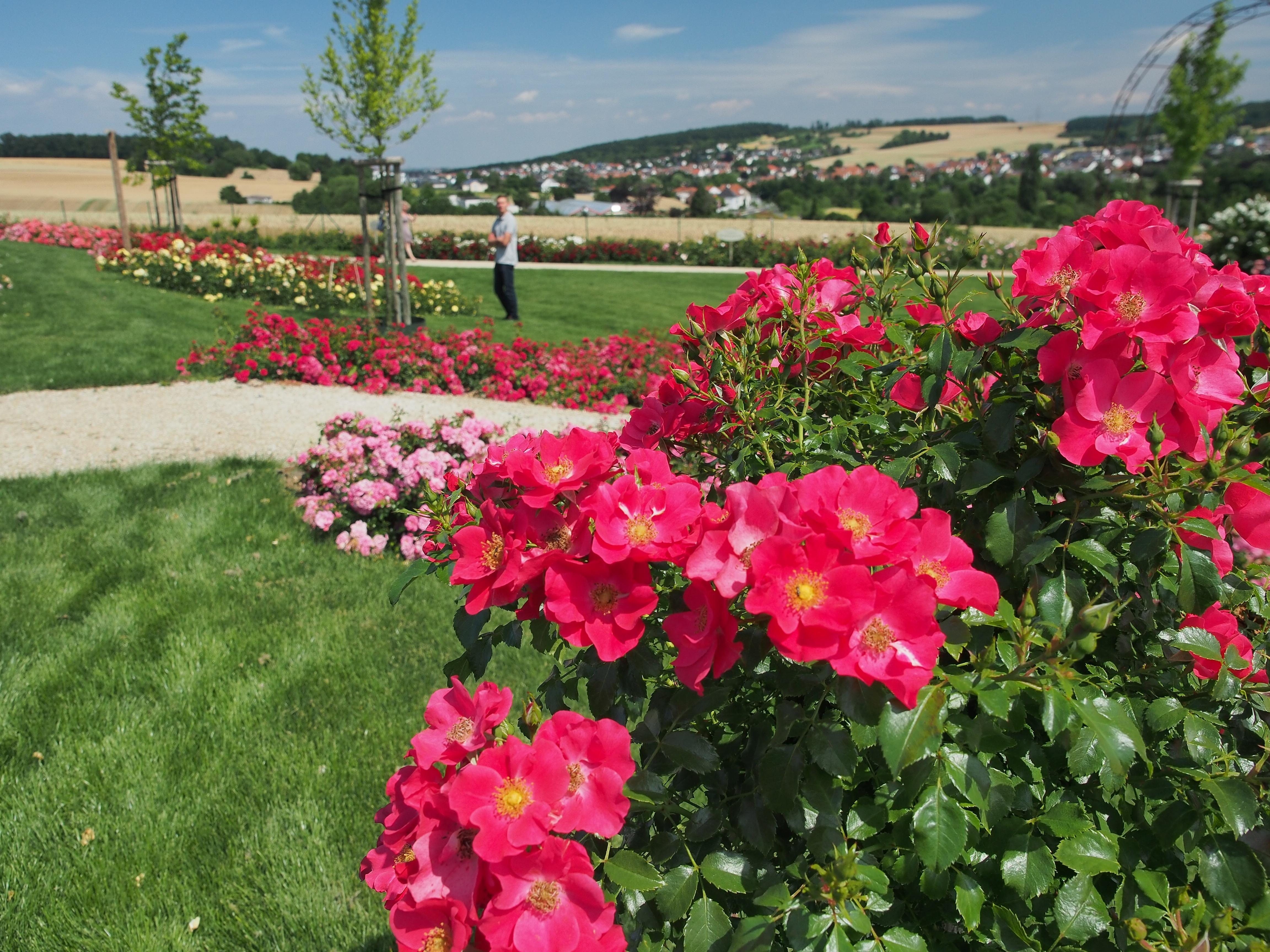 kwiaty róży STADT ROM