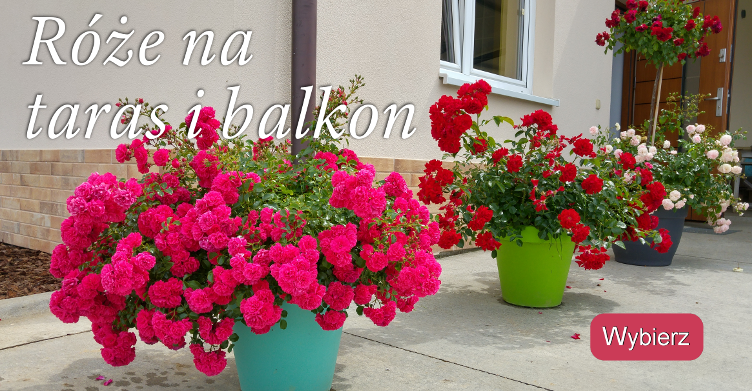Szkółka Róż Grzegorz Hyży Sprzedaż Wysyłkowa Sadzonki