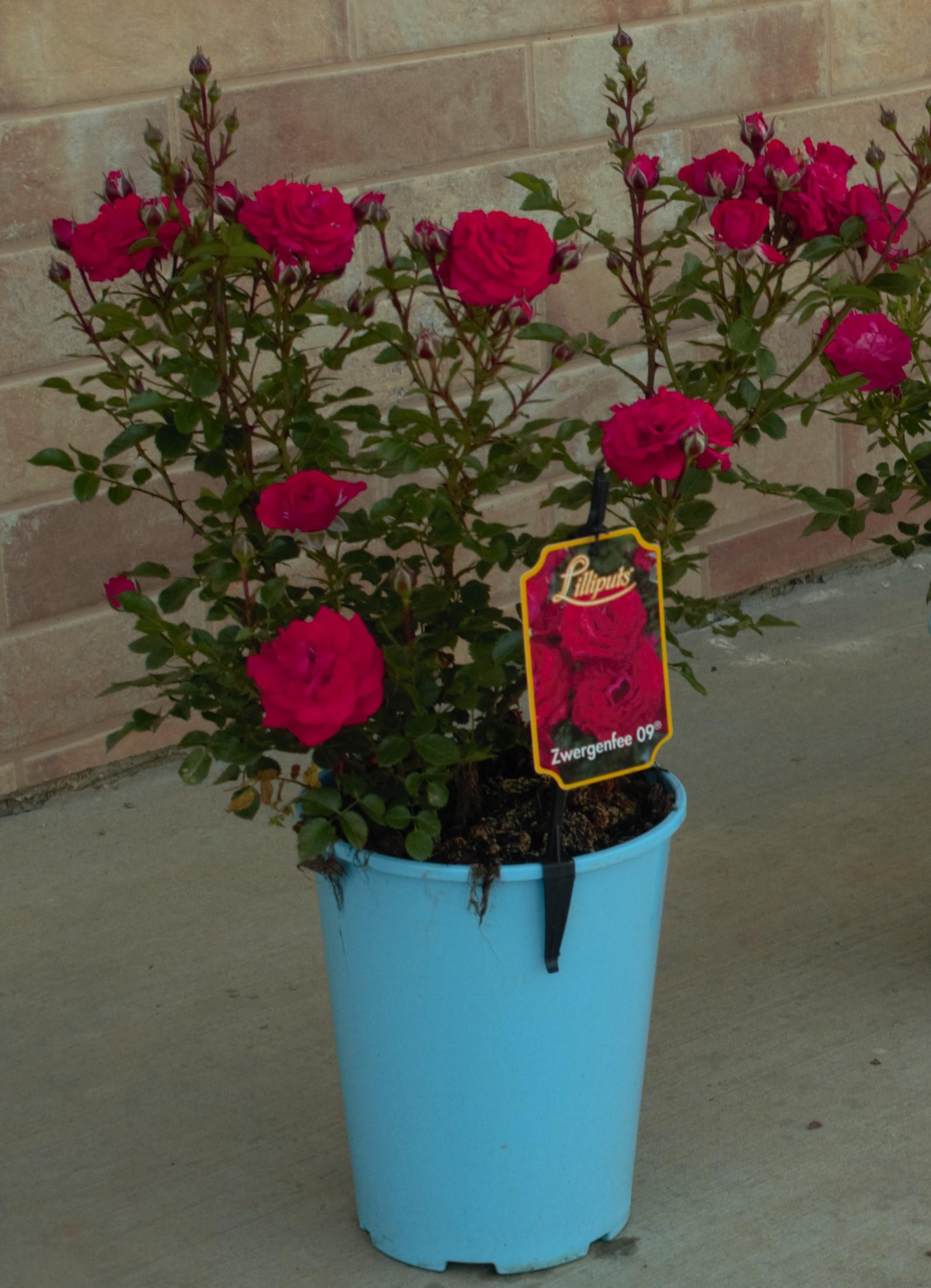 róża miniaturowa w doniczce