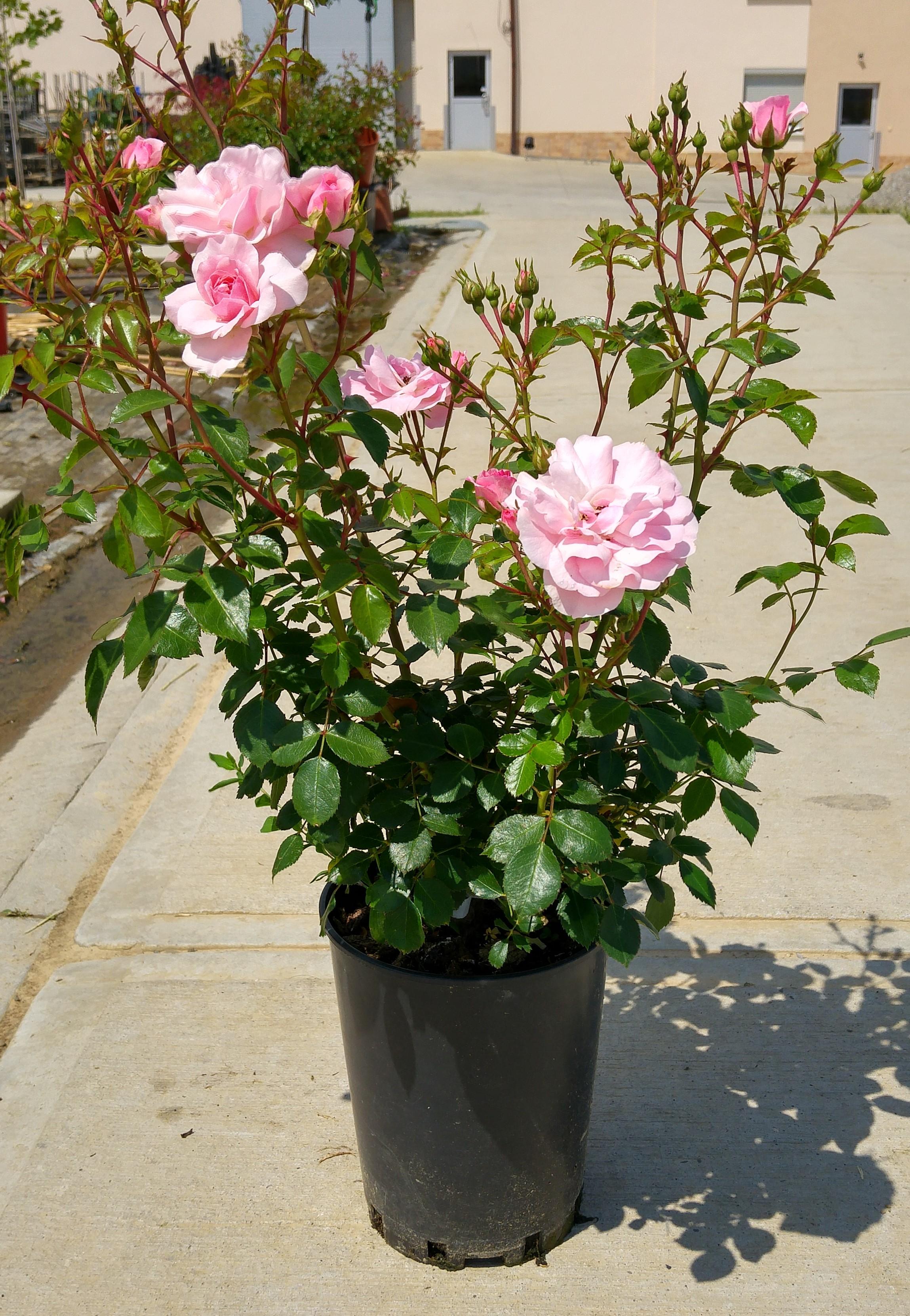 róża w czarnej doniczce