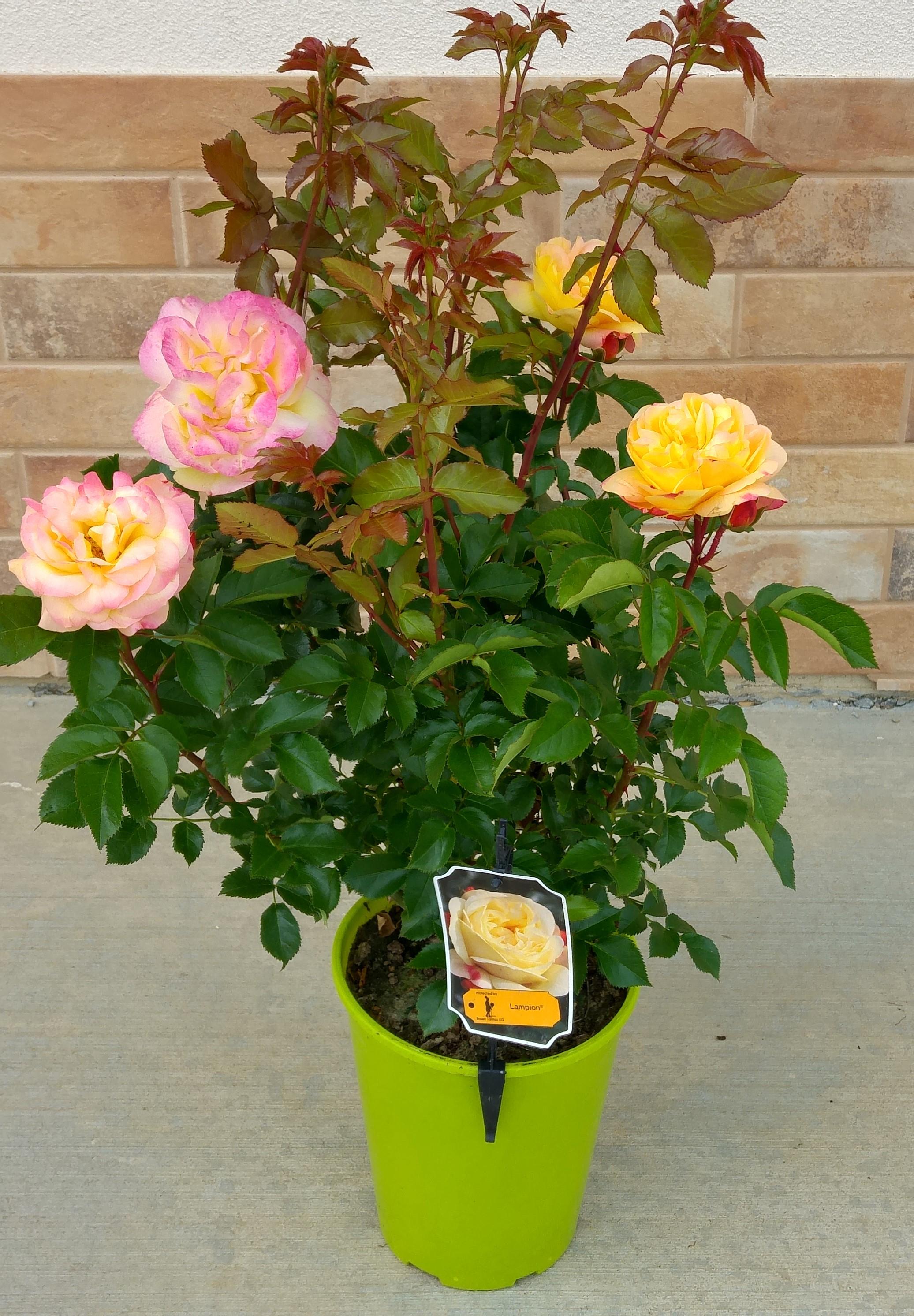 róża rabatowa w doniczce