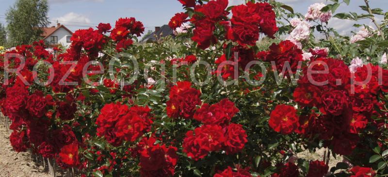 sadzonki róż Mainaufeuer